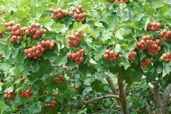 Hawthorn fruits Royalty Free Stock Photos