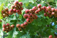 Hawthorn fruits Stock Image