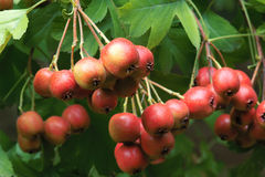 Hawthorn fruits Stock Images