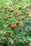 Hawthorn fruits Royalty Free Stock Photography