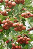 Hawthorn fruits Royalty Free Stock Images