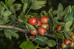 Hawthorn fruits Royalty Free Stock Photo