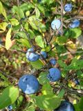 Hawthorn. Growth berry blue Stock Photo