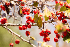 Hawthorn. The harvest of red mellow haw (hawthorn) in the late autumn sunny days Royalty Free Stock Image