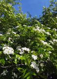 Hawthorn. Blossoms against the sky Royalty Free Stock Photography