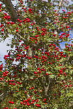 hawthorn hedge with fruits Stock Image