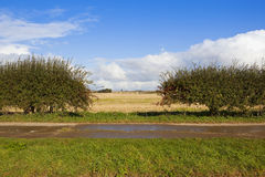 Hawthorn hedgerow in autumn Royalty Free Stock Image