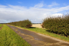 Hawthorn hedgerow with berries Stock Photography