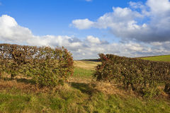 Hawthorn hedgerow with berries Royalty Free Stock Image