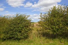 Hawthorn hedgerows with berries Stock Image