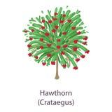 Hawthorn icon, flat style. Hawthorn icon. Flat illustration of hawthorn vector icon for web Stock Photo