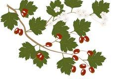 Hawthorn - illustration Stock Images