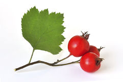 Hawthorn Royalty Free Stock Photo