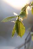 Hawthorn leaf Stock Image