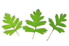 Hawthorn leaves (Crataegus) Stock Photography