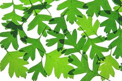 Hawthorn leaves (Crataegus) Royalty Free Stock Image