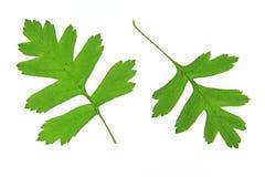 Hawthorn leaves (Crataegus) Stock Photos