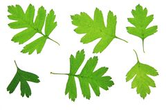 Hawthorn leaves (Crataegus) Royalty Free Stock Images