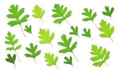 Hawthorn leaves (Crataegus) Stock Image