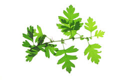 Hawthorn leaves (Crataegus) Stock Image