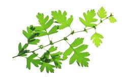 Hawthorn leaves (Crataegus) Stock Images
