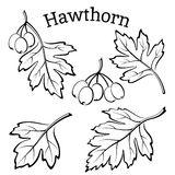 Hawthorn Leaves and Fruits Pictograms. Set of Plant Pictograms, Hawthorn Tree Leaves and Fruits, Black on White Background. Vector Stock Images