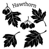 Hawthorn Leaves and Fruits Pictograms. Set of Plant Pictograms, Hawthorn Tree Leaves and Fruits, Black on White Background. Vector Royalty Free Stock Image