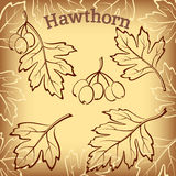Hawthorn Leaves and Fruits Pictograms. Set of Plant Pictograms, Hawthorn Tree Leaves and Fruits on Brown Background. Vector Royalty Free Stock Photography