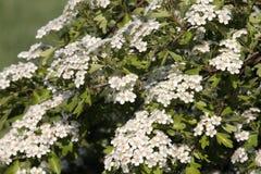 Hawthorn (monogyna do crataegus) Foto de Stock Royalty Free