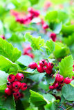 Hawthorn red berries colourful background Royalty Free Stock Photo