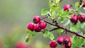 Hawthorn with red berry on the branch, autumn rain water drops, light breeze. Bokeh, shallow depth of the field, 59.94 fps stock video footage