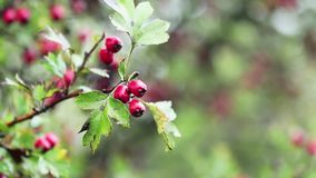 Hawthorn with red berry on the branch, autumn rain water drops, light breeze. Bokeh, shallow depth of the field, 59.94 fps stock footage