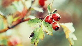 Hawthorn with red berry on the branch, autumn rain water drops, light breeze. Bokeh, shallow depth of the field, toned, 59.94 fps stock video footage