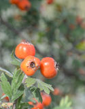 Hawthorn. Red hawthorn on the brunch Royalty Free Stock Photo