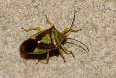 Hawthorn Shied Bug, Stock Photos