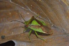 Hawthorn Shieldbug. Acanthosoma haemorrhoidale Royalty Free Stock Images