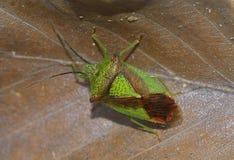 Hawthorn Shieldbug Royalty Free Stock Photos