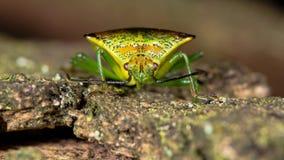 Hawthorn shieldbug (Acanthosoma haemorrhoidale) head on on bark Stock Photo