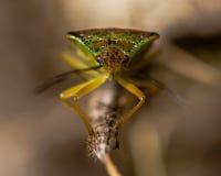 Hawthorn shieldbug (Acanthosoma haemorrhoidale) head on Stock Images