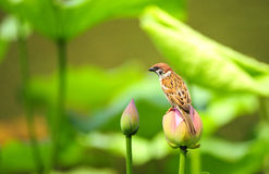 Hawthorn sparrow