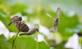 Hawthorn sparrow Stock Image