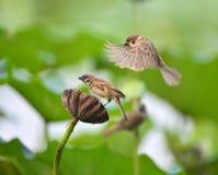 Hawthorn sparrow Royalty Free Stock Photos