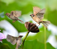 Hawthorn sparrow Stock Photos