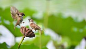 Hawthorn sparrow Royalty Free Stock Photo