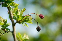 Hawthorn in spring with fruits royalty free stock photography