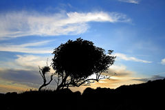 Hawthorn At Sunset - Scotland. Wind-bent hawthorn tree in silhouette against a sunset sky - Scotland Royalty Free Stock Image