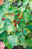 Hawthorn tree royalty free stock photos