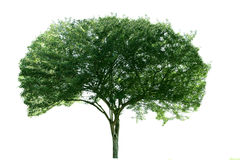 Hawthorn tree Royalty Free Stock Images