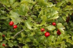 Hawthorn tree or bush, Crataegus monogyna Stock Photos