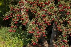 Hawthorn tree (Crataegus oxyacantha) Stock Image